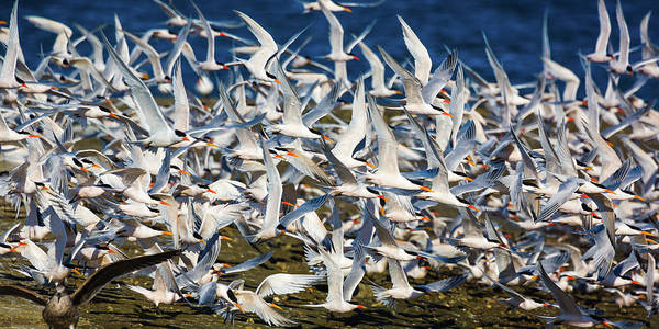 Elegant Tern Wall Art - Photograph - Well Oiled Machine by Brian Knott Photography