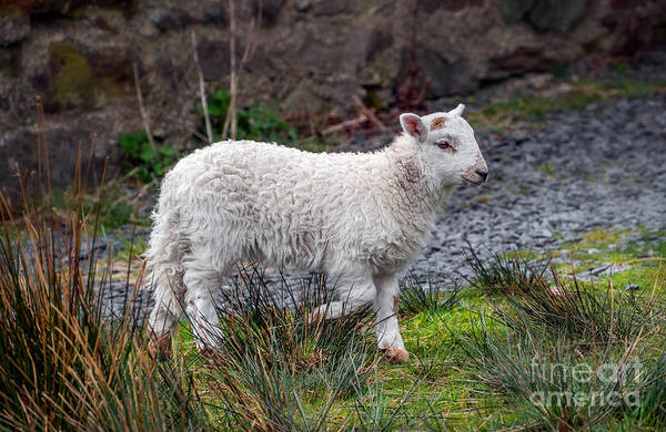 Photograph - Welsh Lamb by Adrian Evans