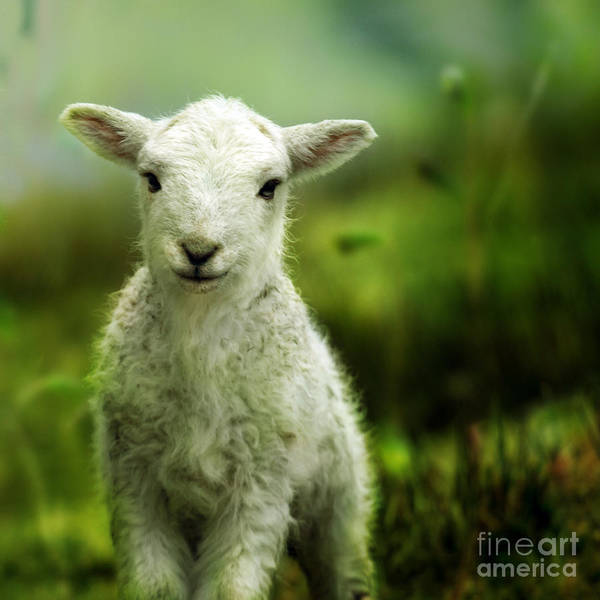 Sheep Photograph - Welsh Lamb by Angel Ciesniarska