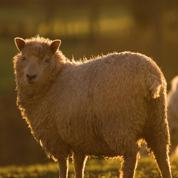 Sheep Photograph - Welsh Lamb In Sunny Sauce by Angel Ciesniarska