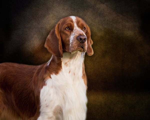 Photograph - Welsh Springer Spaniel by Diana Andersen