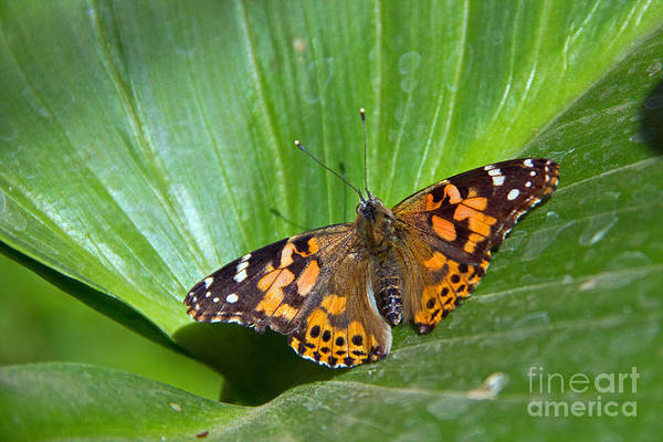 Photograph - West Coast Lady Butterfly by Kelly Holm