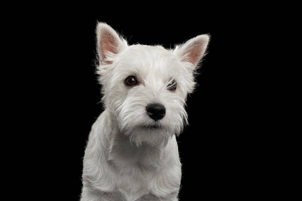 Photograph - West Highland White Terrier by Sergey Taran