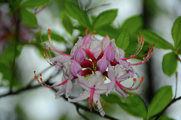 Photograph - West Virginia Appalachian Trail Flowers by Raymond Salani III
