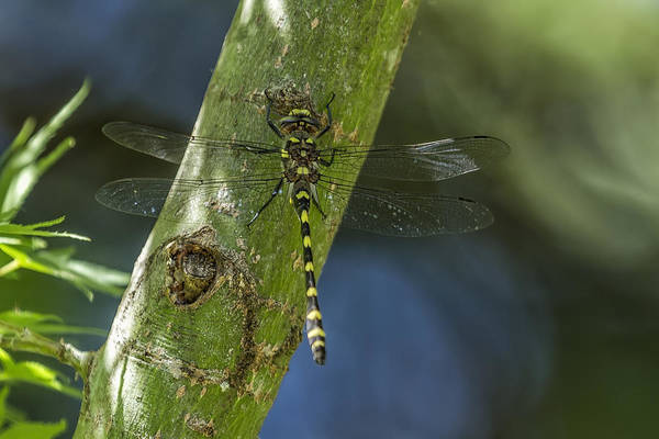 Photograph - Western Adder Dragonfly No. 1 by Belinda Greb