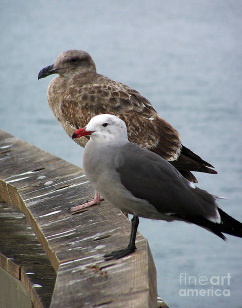 Photograph - Western And Heermann's Gull  by Jennifer Robin