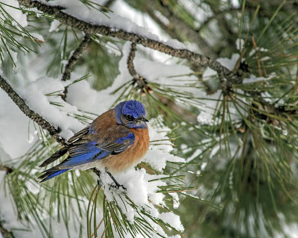 Wall Art - Photograph - Western Bluebird In A Snowy Pine by Dawn Key