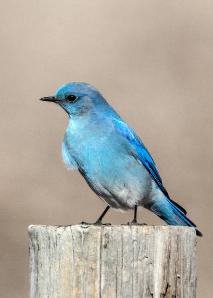Wall Art - Photograph - Mountain  Bluebird by Dawn Key