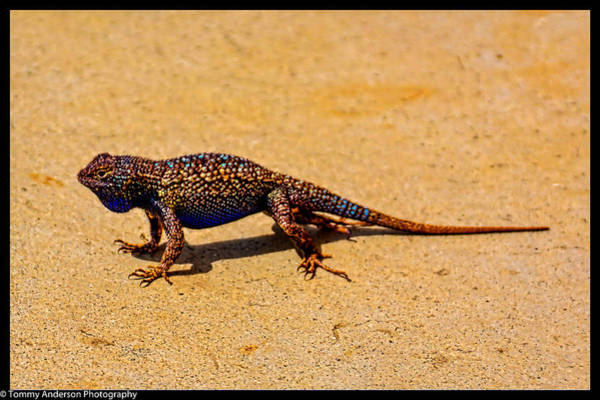 Norco Photograph - Granite Spiny Lizard 3 by Tommy Anderson