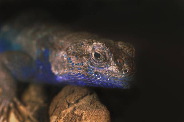 Photograph - Western Fence Lizard  by Brian Cross