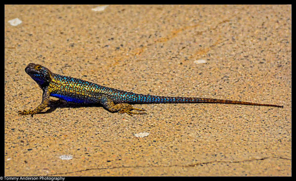 Norco Photograph - Granite Spiny Lizard by Tommy Anderson