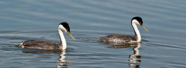 Photograph - Western Grebe Pair by Cascade Colors