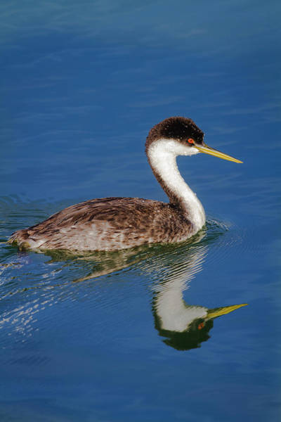 Photograph - Western Grebe Reflection by Mark Miller