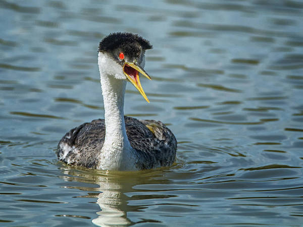 Photograph - Western Grebe by Tam Ryan