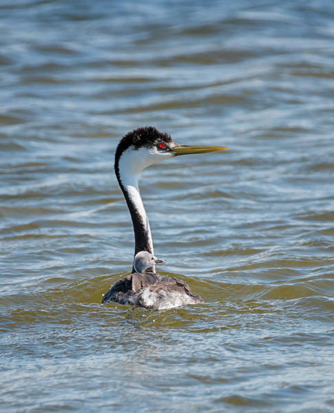 Photograph - Western Grebe With Baby by Loree Johnson