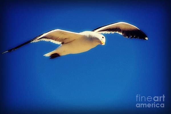 Photograph - Western Gull by Jenny Revitz Soper