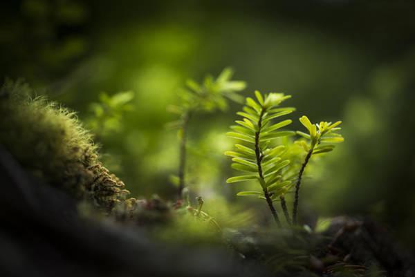 Photograph - Western Hemlock Seedlings by Robert Potts