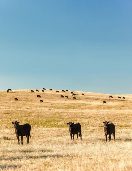 Photograph - Western Herd Of Cattle by Todd Klassy