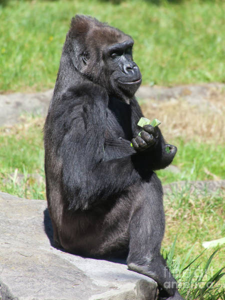 Photograph - Western Lowland Gorilla At The San Francisco Zoo San Francisco California 5d3188 by Wingsdomain Art and Photography