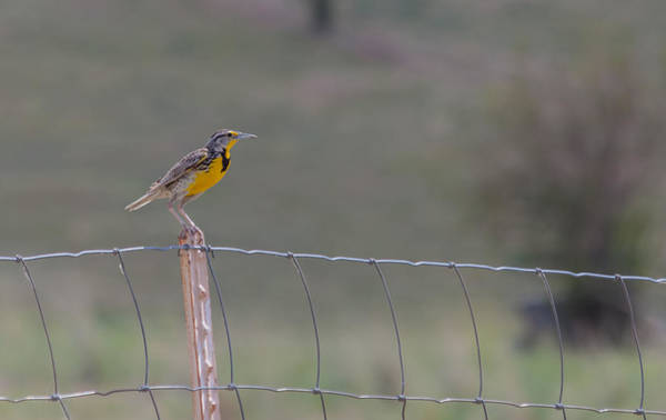 Photograph - Western Meadowlark by Fran Riley
