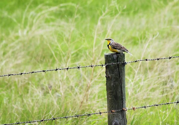Photograph - Western Meadowlark by Ryan Crouse