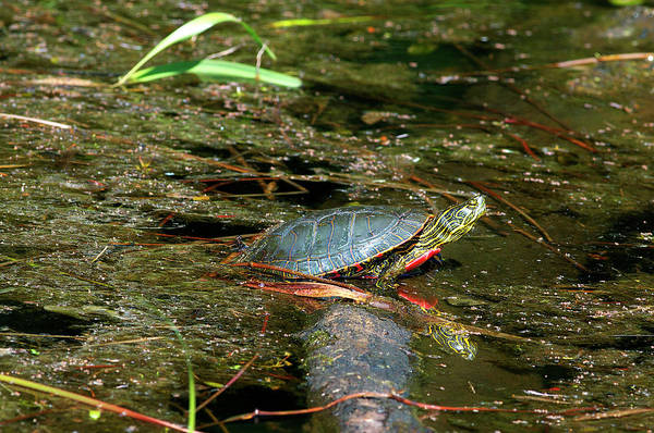 Painted Turtle Photograph - Western Painted Turtle by Sharon Talson