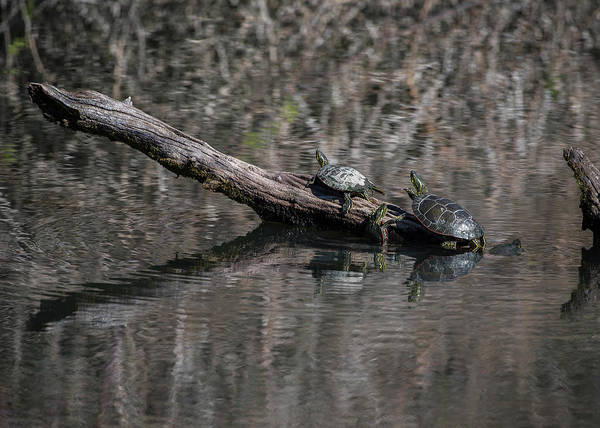 Photograph - Western Painted Turtles On A Log by Robert Potts