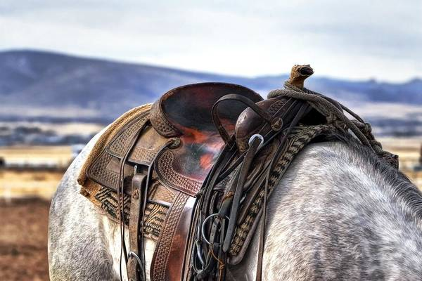 Photograph - Western Saddle Grey Horse by Studio Artist
