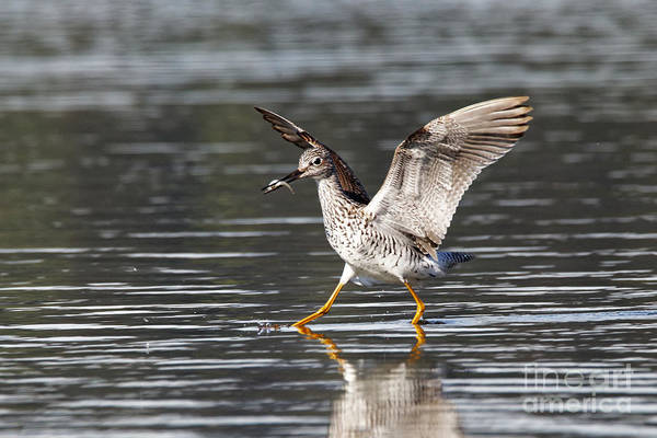Photograph - Greater Yellowlegs by Sue Harper