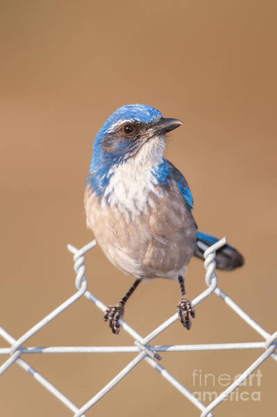 Photograph - Western Scrub-jay II by Clarence Holmes