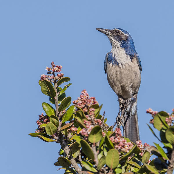 San Elijo Wall Art - Photograph - Western Scrub-jay On Lemonade Berry by Morris Finkelstein