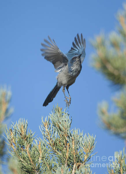 Scrub Jay Photograph - Western Scrub-jay Taking Off by Marie Read