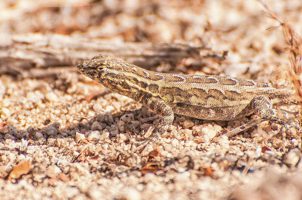 Wall Art - Photograph - Western Side-blotched Lizard by Rich Leighton
