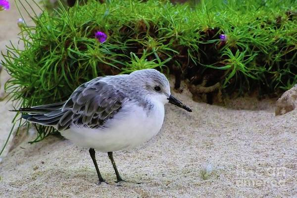 Photograph - Western Snowy Plover by Joe Lach