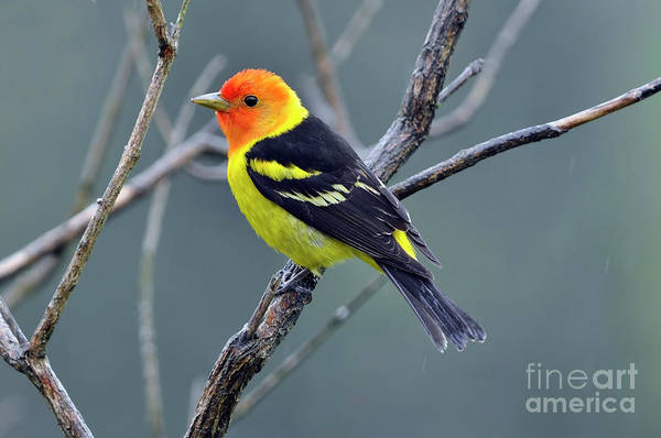 Wall Art - Photograph - Western Tanager Male by Laura Mountainspring