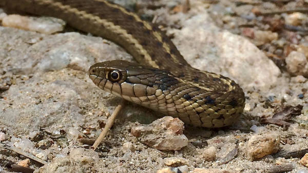Photograph - Western Terrestrial Garter Snake by Dan Miller