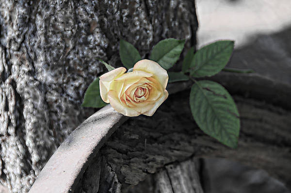 Photograph - Western Yellow Rose Iv by Jody Lovejoy