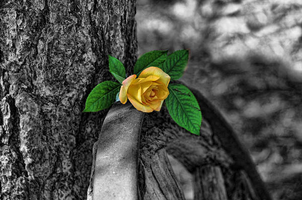 Photograph - Western Yellow Rose Two Tone by Jody Lovejoy