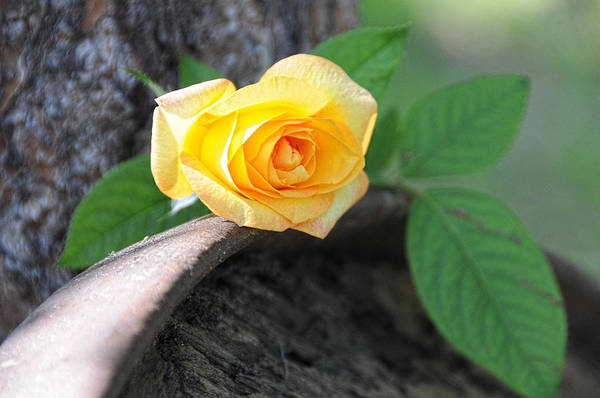 Photograph - Western Yellow Rose Vi by Jody Lovejoy