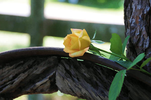 Photograph - Western Yellow Rose Vii by Jody Lovejoy