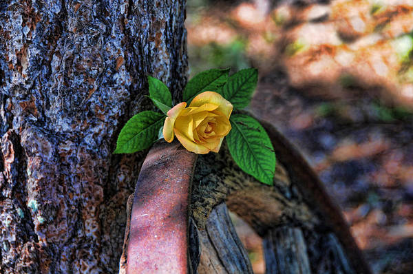 Photograph - Western Yellow Rose Viii by Jody Lovejoy