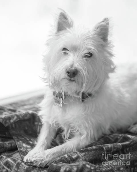 Wall Art - Photograph - Westie Dog In Front Of A Window by Edward Fielding