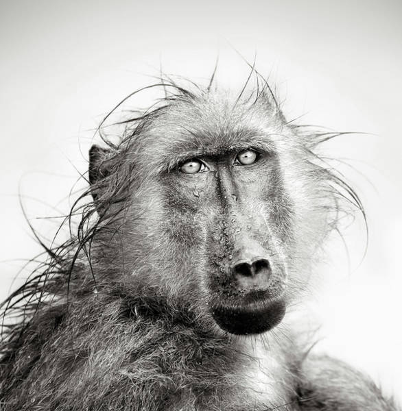 Monochrome Photograph - Wet Baboon Portrait by Johan Swanepoel
