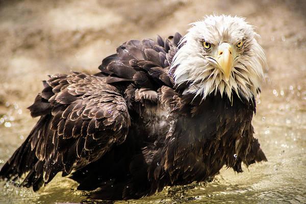 Photograph - Wet Bald Eagle by Don Johnson