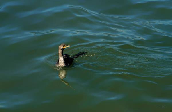 Photograph - Wet Comorant by Bonnie Follett