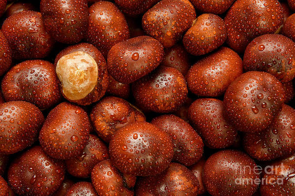 Wall Art - Photograph - Wet Conkers by Richard Thomas