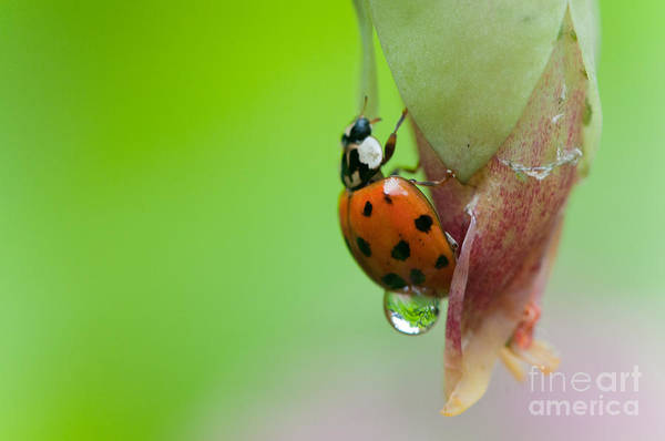 Cesar Wall Art - Photograph - Wet Ladybug by Cesar Marino
