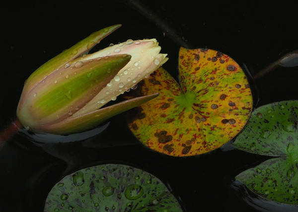 Photograph - Wet Lily by Farol Tomson