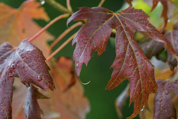 Photograph - Wet Maple Leaves by Robert Potts