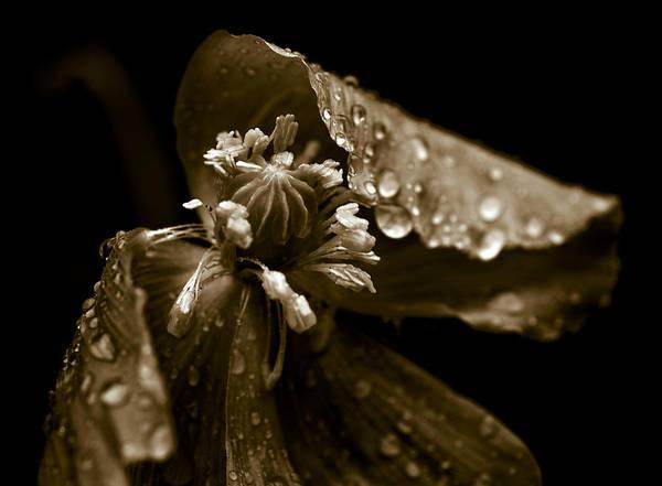 Wall Art - Photograph - Wet Opium Poppy by Frank Tschakert